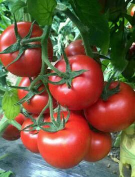 攀枝花千禧西红柿育苗基地 出售小番茄种苗厂